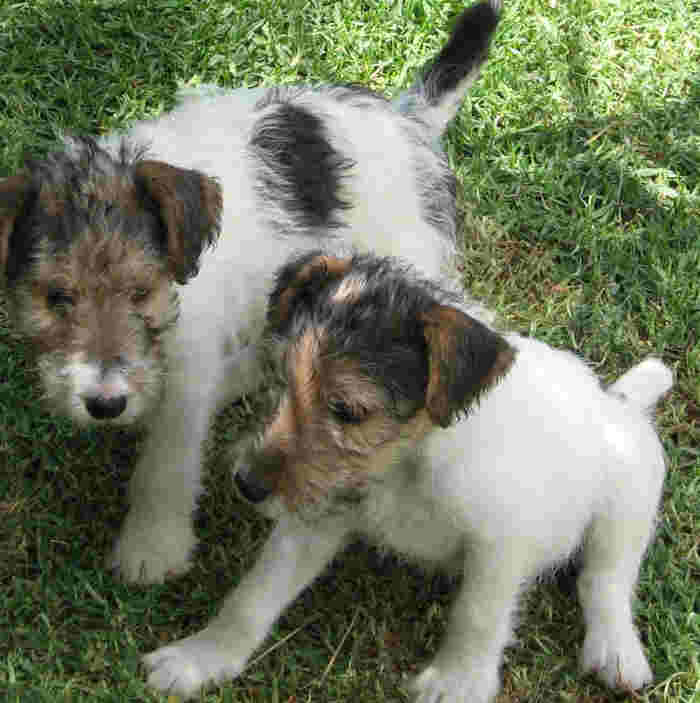 Fox Terrier,Wire puppies wallpaper