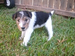 Fox Terrier,Wire puppy in the grass