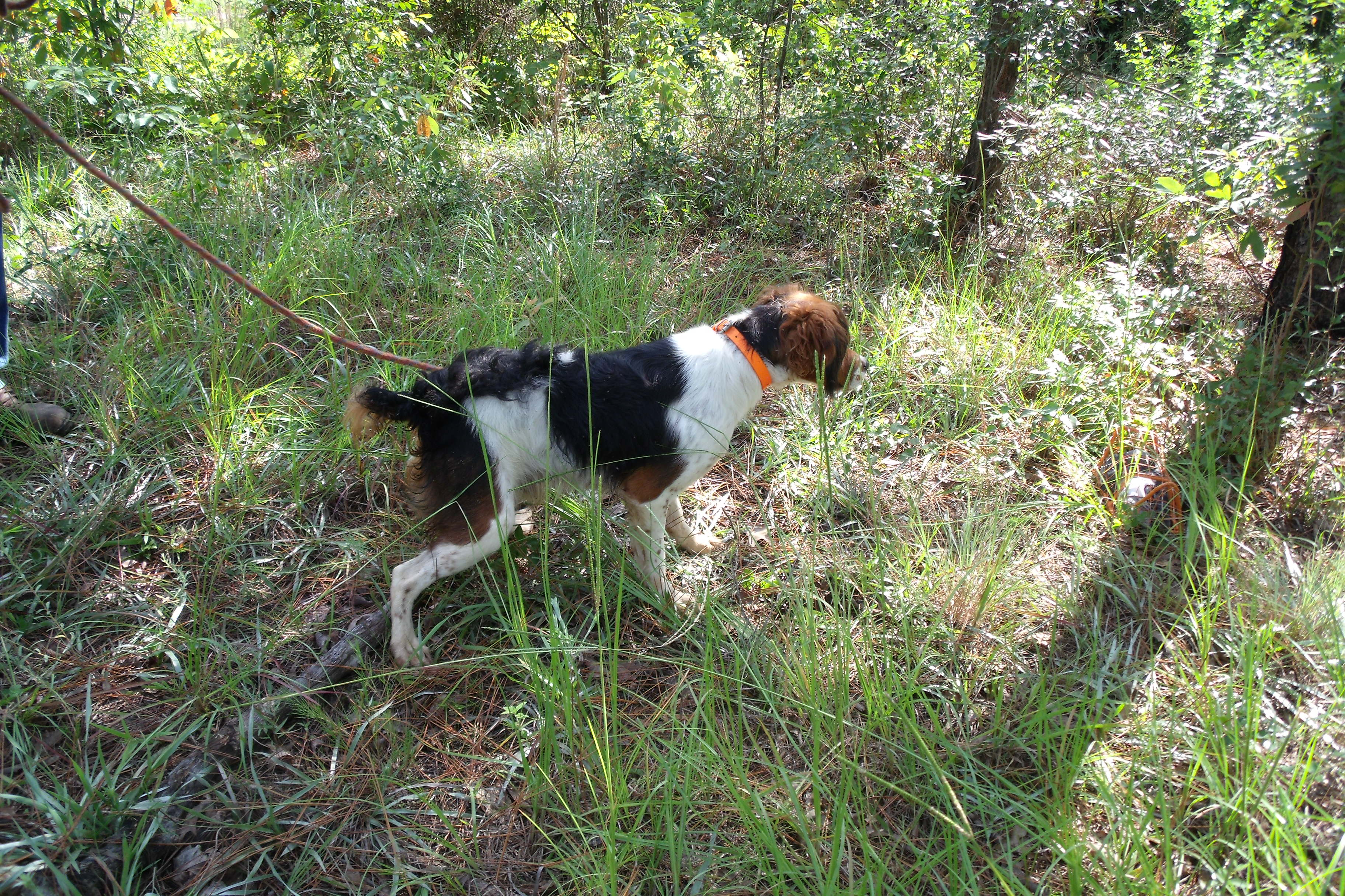 French Brittany dog for a walk wallpaper