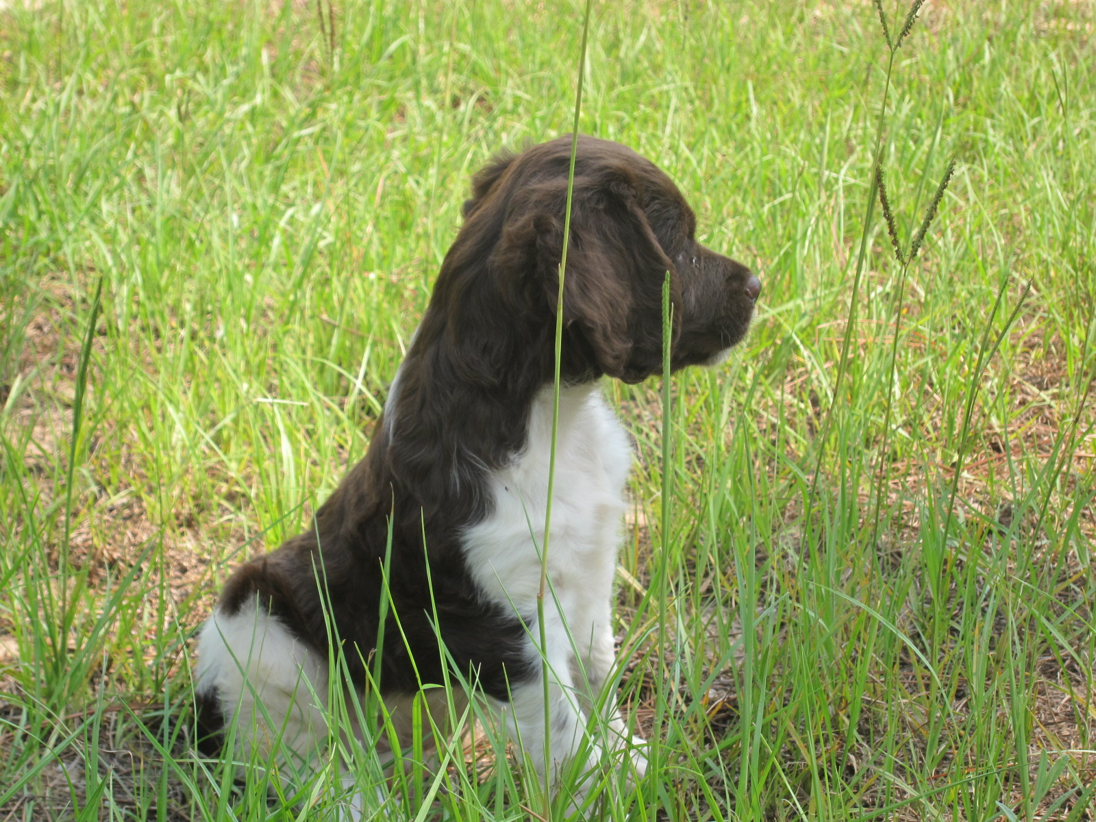 French Brittany dog in the grass wallpaper