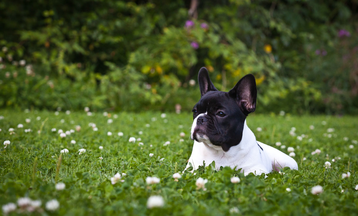 French Bulldog dog on the lawn wallpaper