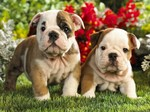 French Bulldog dogs near flowers
