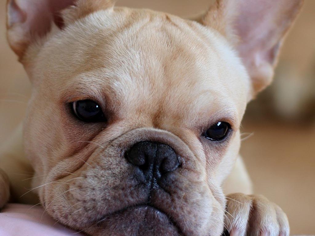 French Bulldog face wallpaper