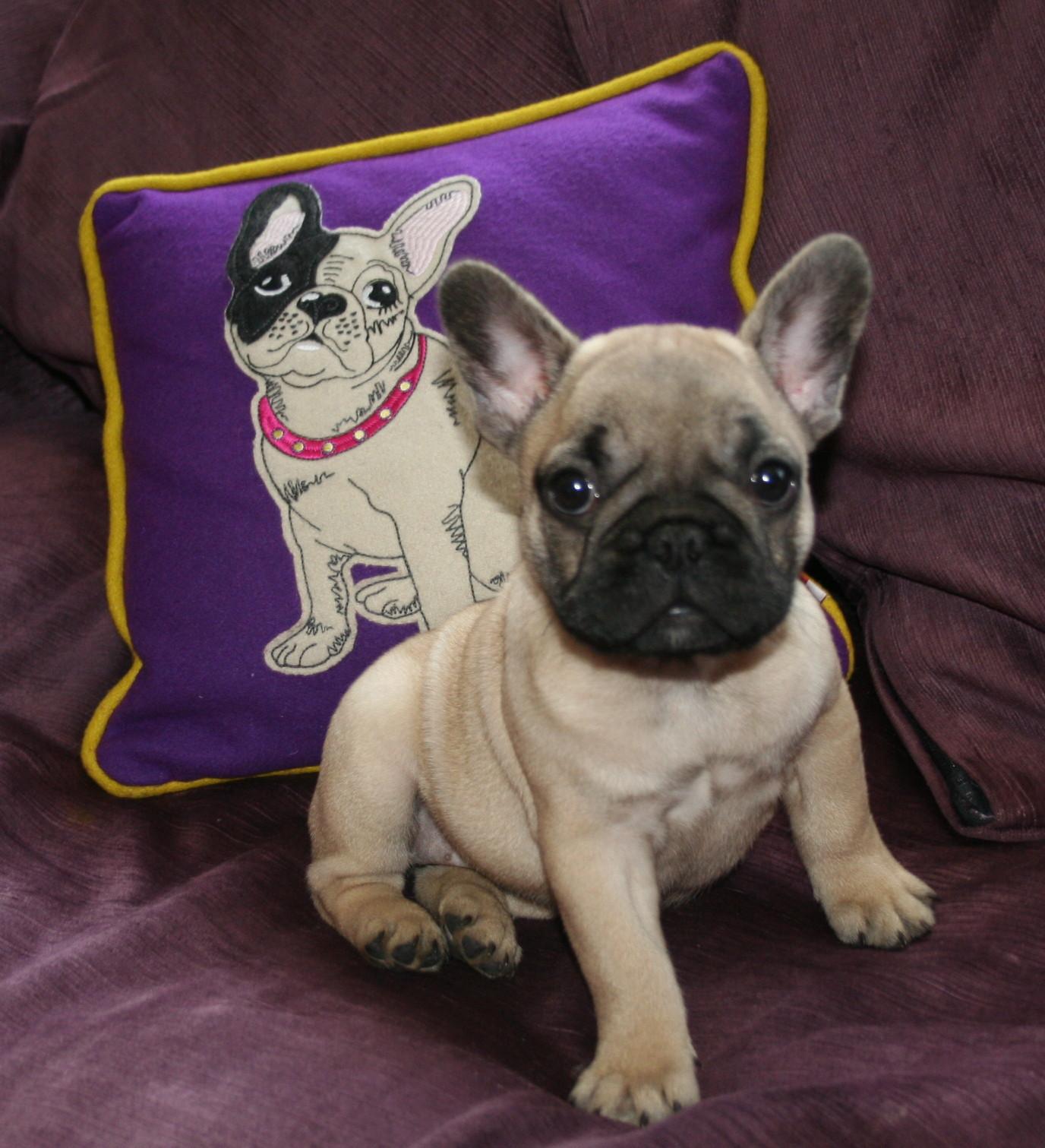 Французский бульдог на фиолетовом фоне фото