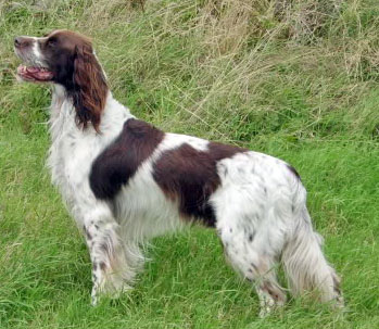 French Spaniel dog on the field wallpaper