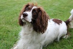 French Spaniel face