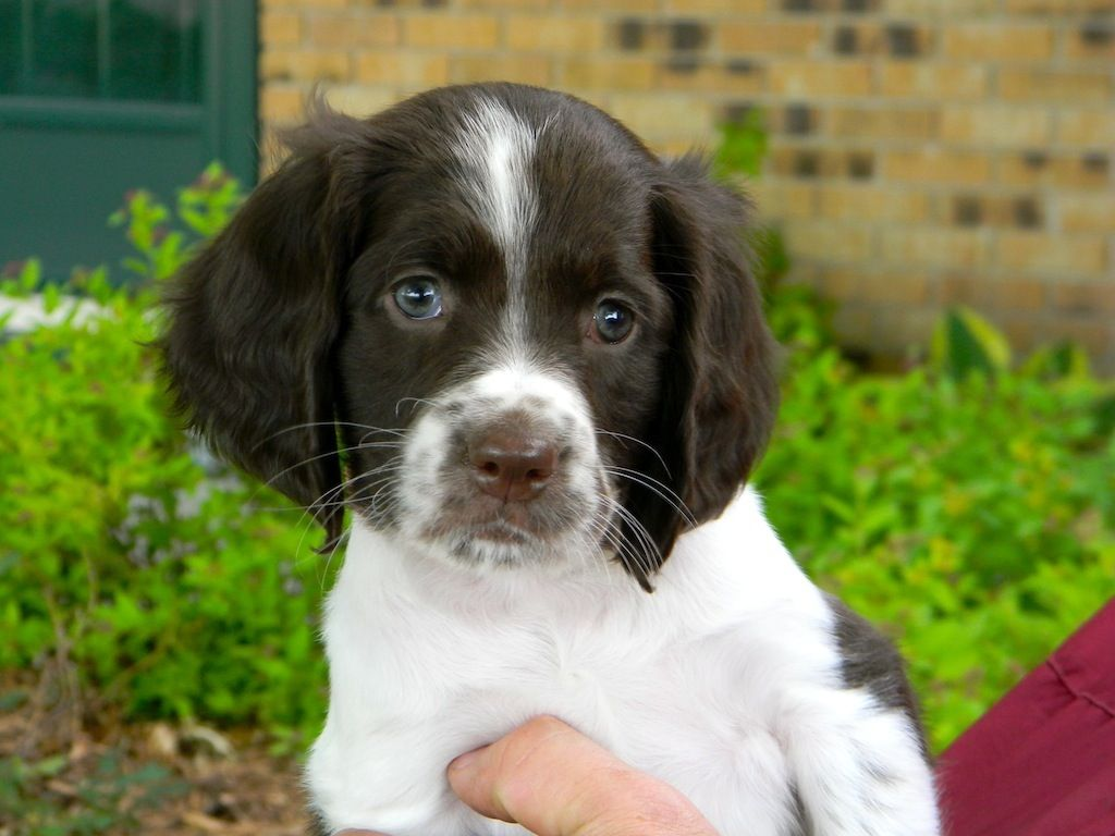 French Spaniel puppy wallpaper