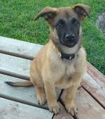 Friendly Belgian Shepherd Dog (Malinois) puppy