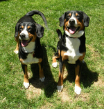 Friendly Entlebucher Mountain Dogs