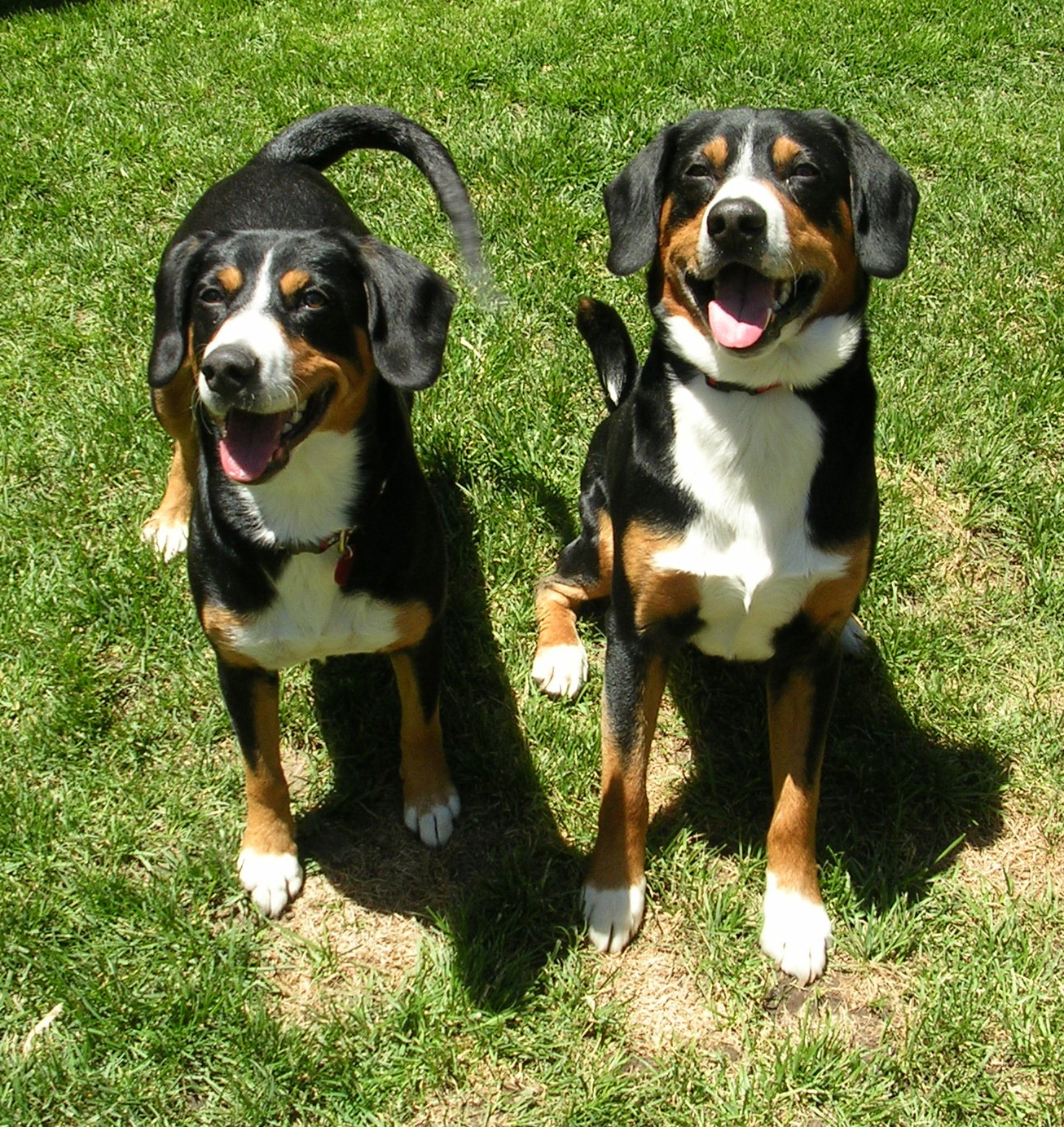 Friendly Entlebucher Mountain Dogs wallpaper