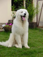 Friendly Kuvasz dog