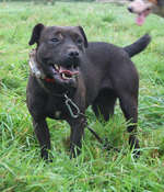 Friendly Patterdale Terrier dog