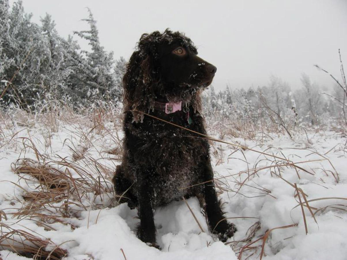 Frozen Boykin Spaniel dog wallpaper