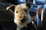 Funny Airedale Terrier in the car