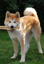 Funny Akita Inu and a brush