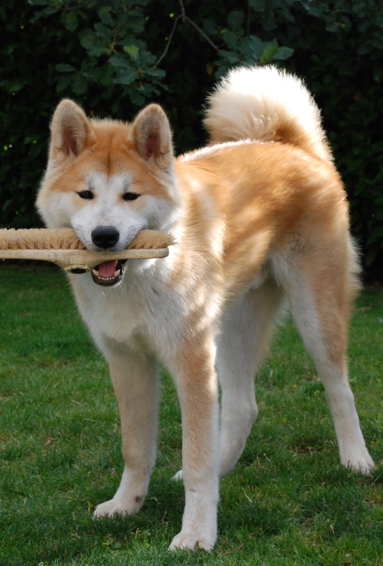 Funny Akita Inu and a brush wallpaper