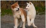 Funny Akita Inu puppies
