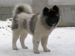 Funny American Akita on the snow