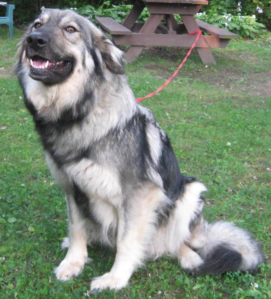 Забавная американская эльзасская собака фото