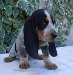 Funny Basset Bleu de Gascogne puppy