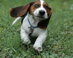 Funny Basset Hound dog