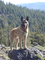 Belgian Shepherd Dog (Laekenois) in the mountains
