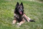 Funny Belgian Shepherd (Tervuren)