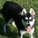 Funny black and white Alaskan Klee Kai