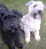 Funny Bouvier des Flandres dogs