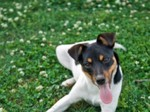 Funny Chilean Fox Terrier dog