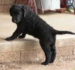 Funny Curly Coated Retriever puppy