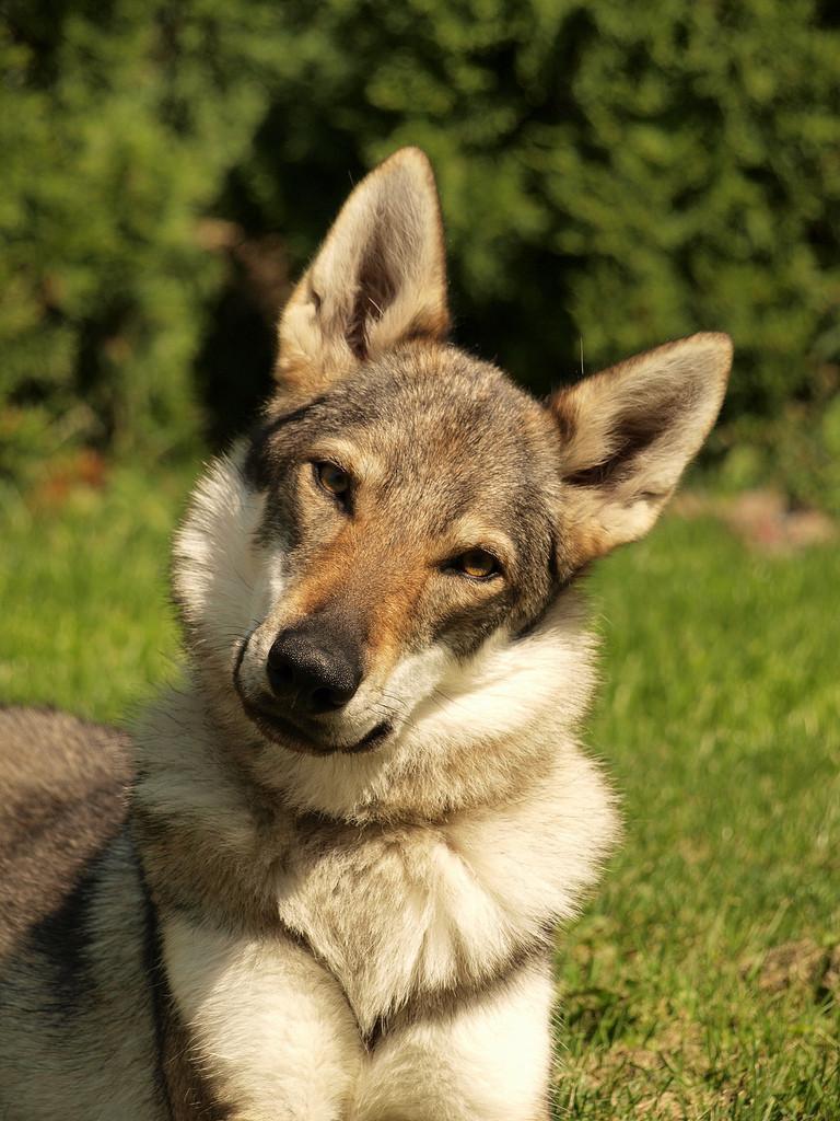 Смешная чехословацкая волчья собака фото