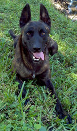Funny Dutch Shepherd Dog