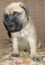 Funny English Mastiff puppy