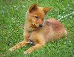 Funny Finnish Spitz dog