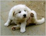 Funny Kuvasz puppy