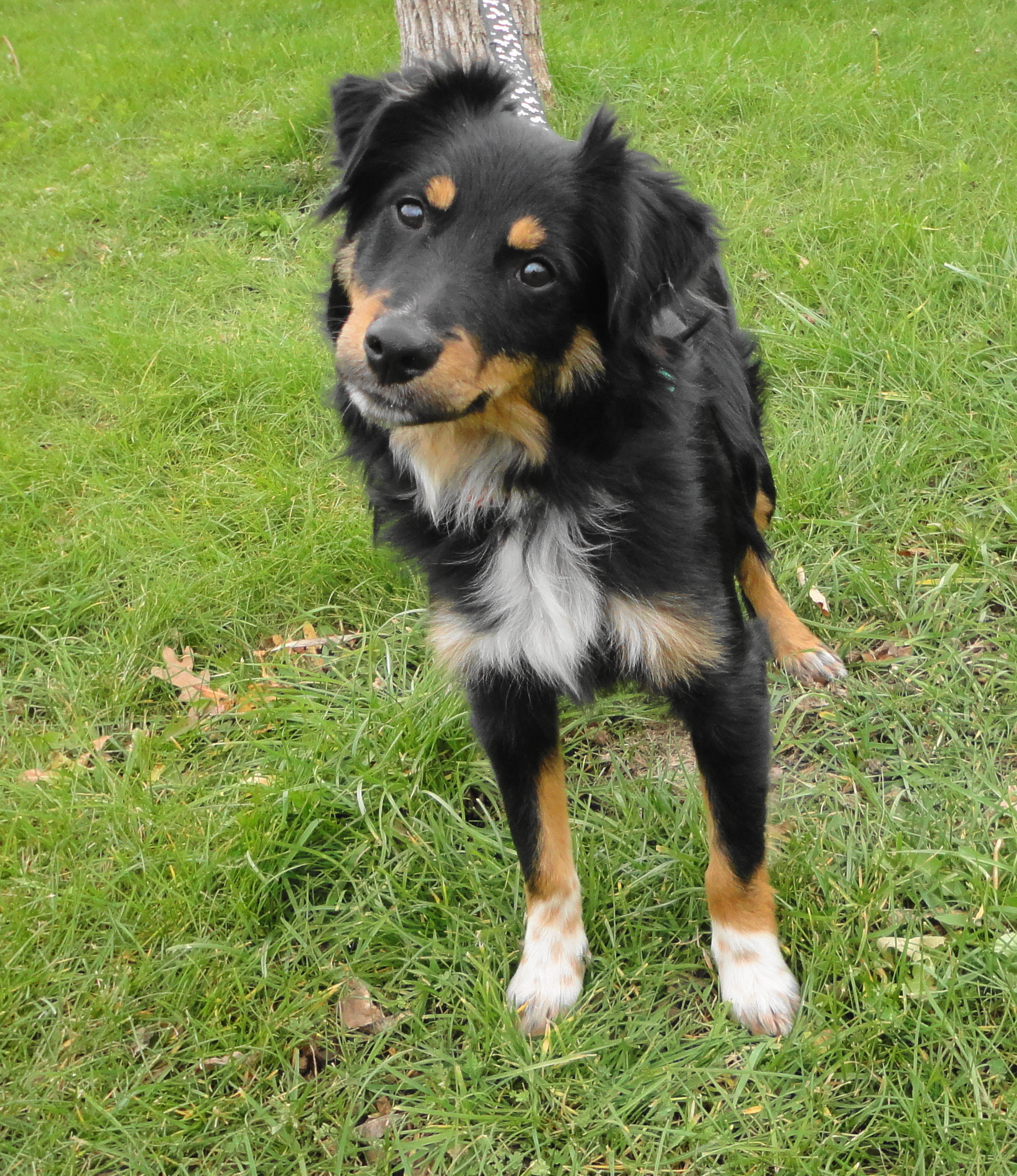 Add photos Funny Miniature Australian Shepherd in your blog: