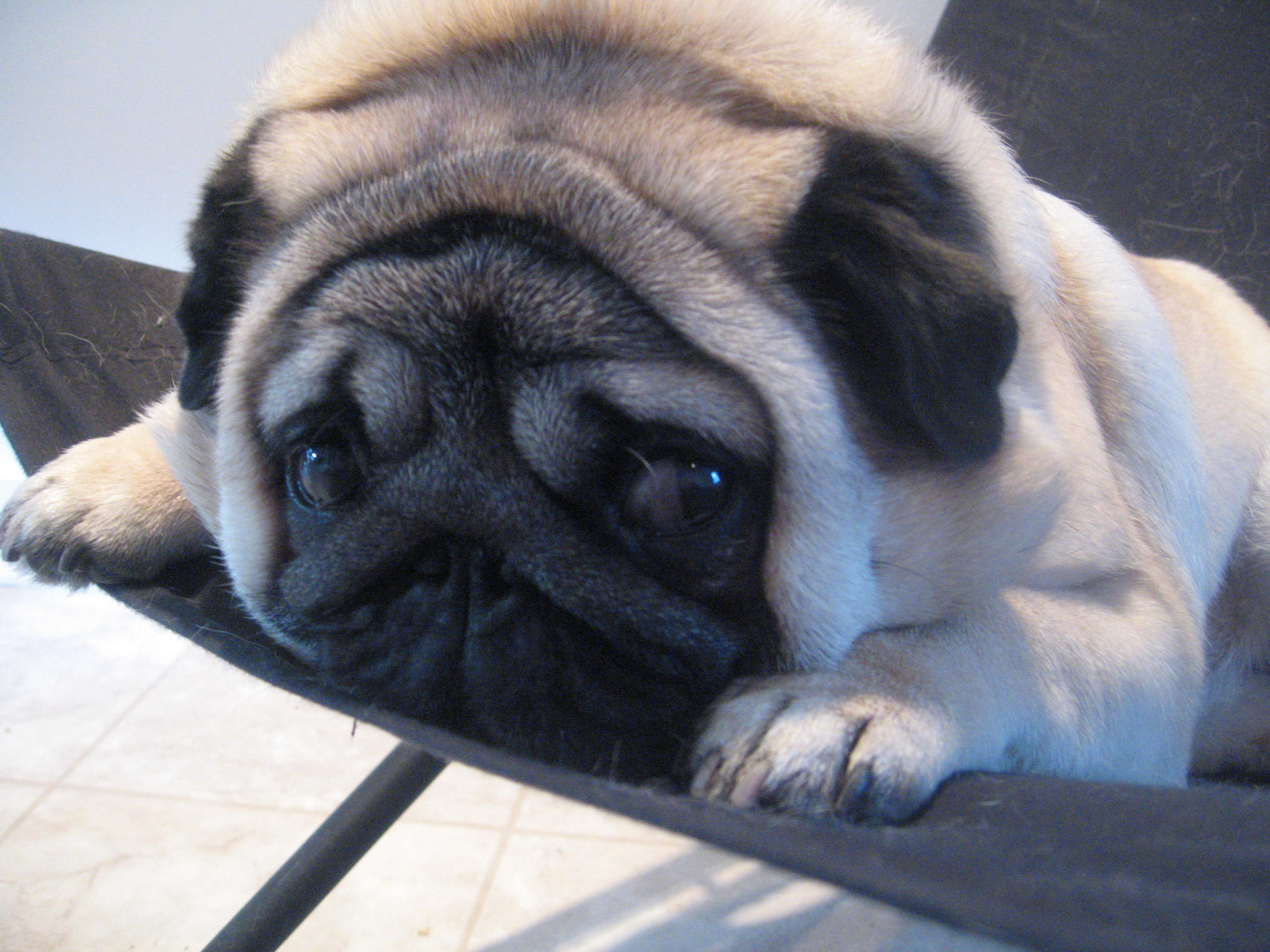 funny pug dog photo and wallpaper. beautiful funny pug dog pictures