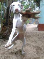 Funny Rajapalayam dog