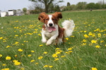 Funny running Welsh Springer Spaniel