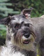Funny Schnauzer, Standard dog face