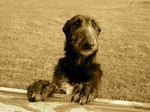 Funny Scottish Deerhound dog