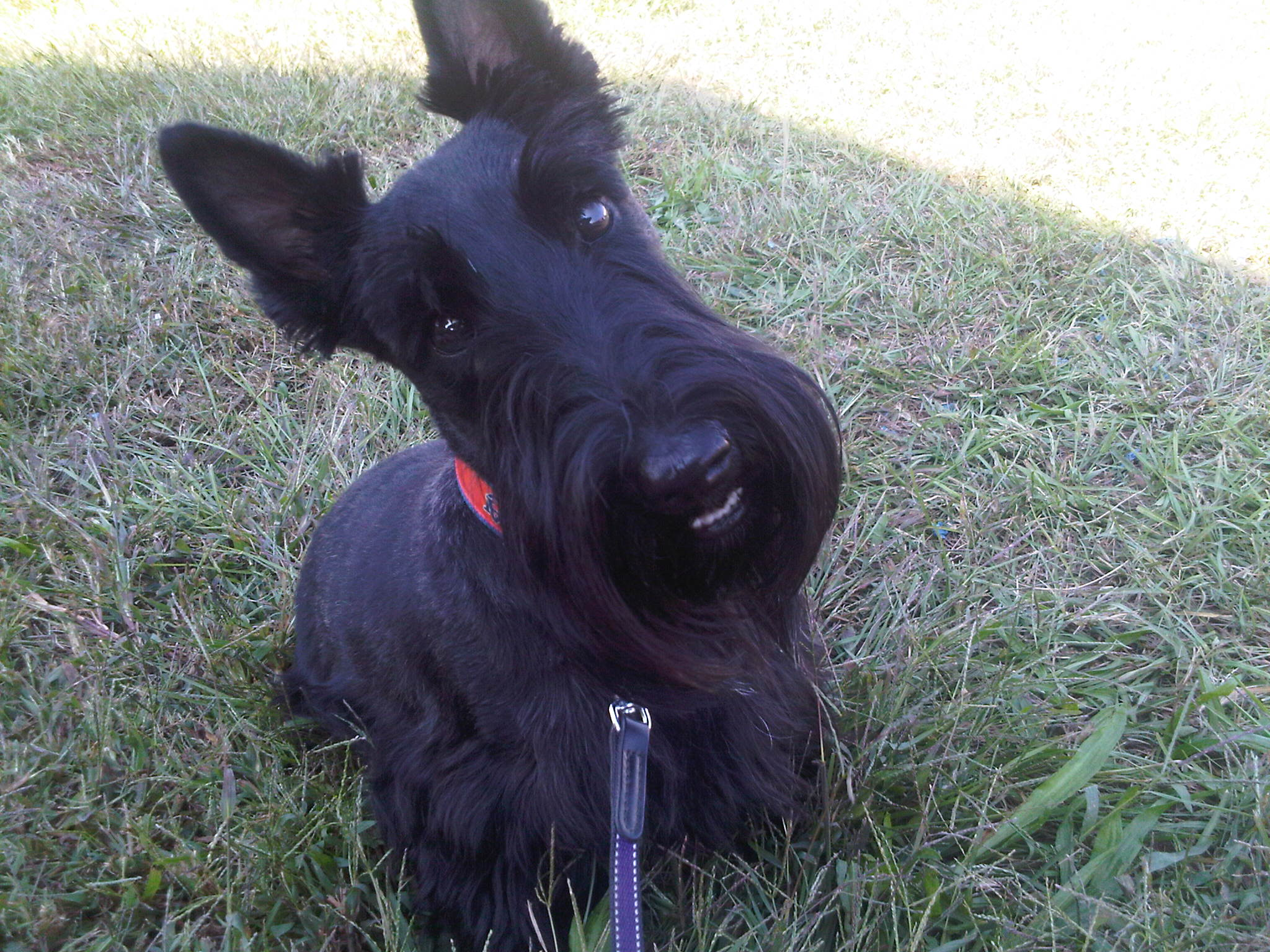 Funny Scottish Terrier dog face wallpaper