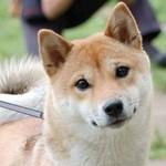 Funny Shiba Inu dog