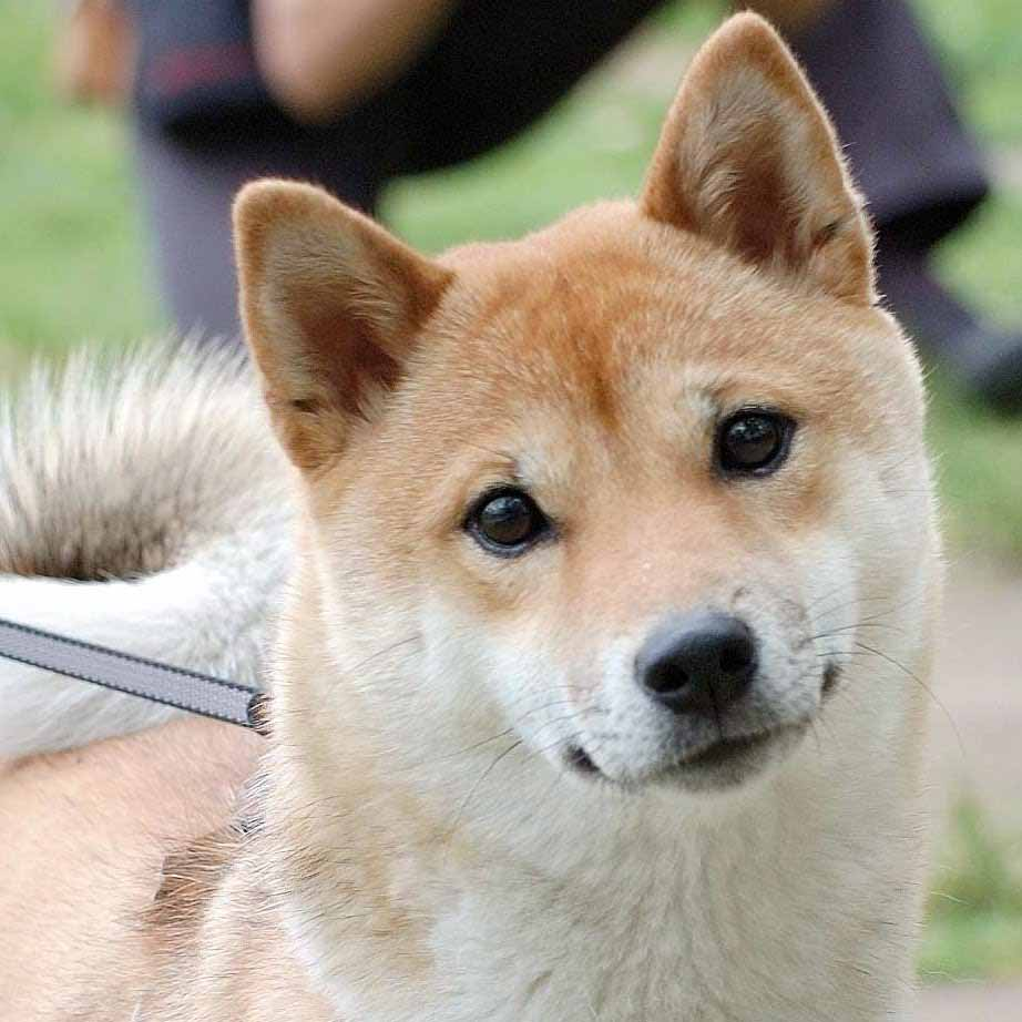 Funny Shiba Inu Dog Photo And Wallpaper Beautiful Funny