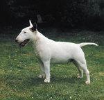 Funny small Bull and Terrier puppy
