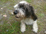 Funny small Wetterhoun dog