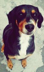 Funny Transylvanian Hound dog