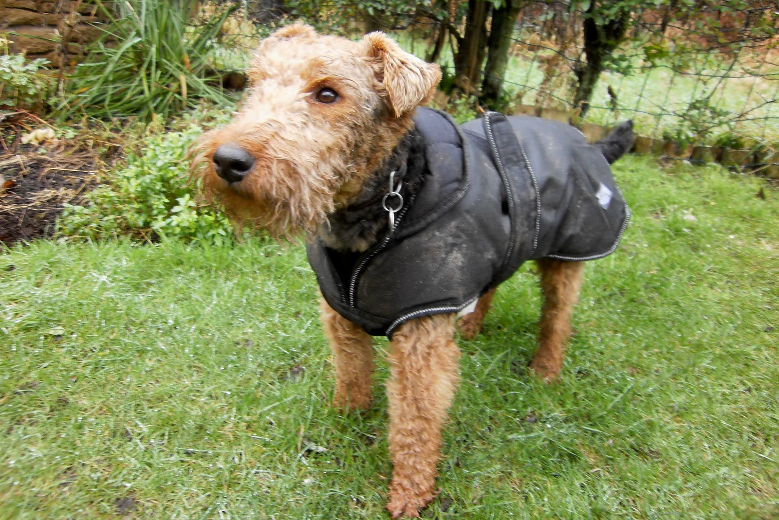 Funny Welsh Terrier wallpaper