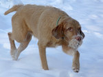 Funny Wirehaired Vizsla dog on the snow